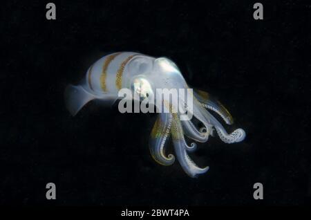 Bigfin Reef Squid (Sepioteuthis lessoniana), night dive, Sakokreng Jetty dive site, Dampier Strait, Raja Ampat, Indonesia. - Stock Photo