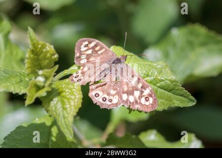 Speckled Wood butterfly (Pararge aegeria) UK garden - Stock Photo