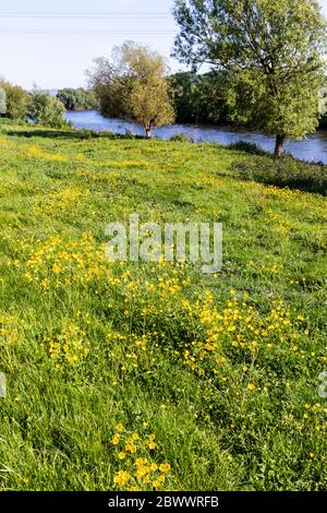 Buttercups flowering beside the Severn Way Long Distance Footpath at Wainlodes, north of Gloucester UK - Stock Photo