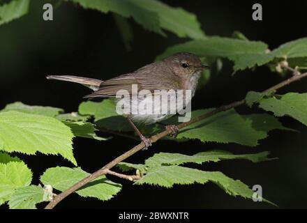 Common Chiffchaff, Phylloscopus collybita - Stock Photo