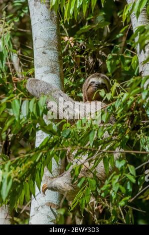 A three-toed sloth with a baby is slowly climbing up a cecropia tree in the Caratinga Biological Reserve in the state of Minas Gerais, Brazil.