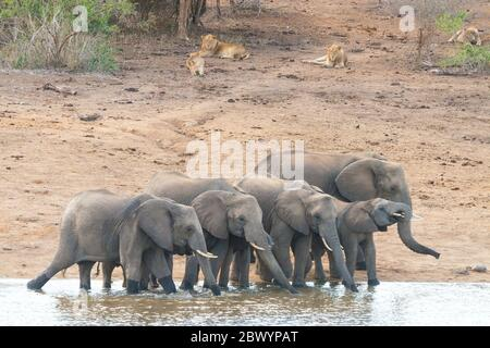 A herd of Elephants drinking close to a pride of Lions Kruger Park South Africa