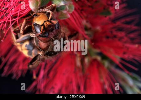 A dead Asian hornet on a common bottlebrush flower. This is an invasive species in Europe and has been nicknamed the Murder Wasp in the USA. - Stock Photo
