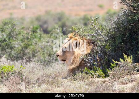 Lion (Panthera leo) resting in the shade behind a bush with head visible, Addo Elephant national Park, eastern Cape, South Africa - Stock Photo
