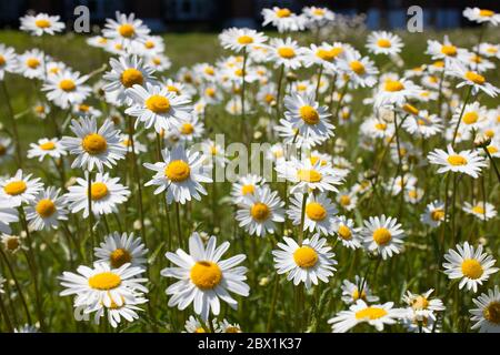 Oxeye Daisies growing in the wild, botanical name Leucanthemum vulgare - Stock Photo