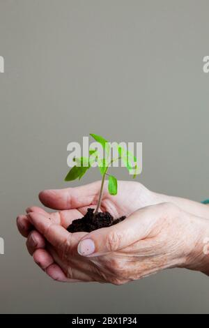 a young green sprout that is carefully held in the hands with earth on a gray background - Stock Photo