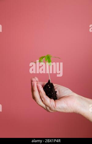a young green sprout that is carefully held in the hands with earth on a pink background - Stock Photo