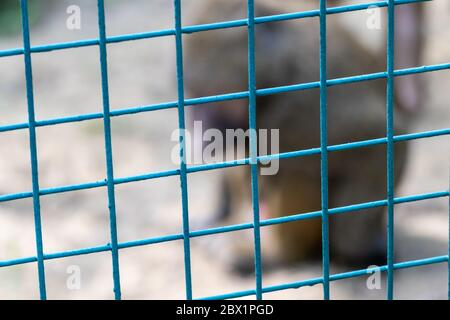 Blurred monkey behind metal fence and looking sad in zoo close-up with blurred background Stock Photo