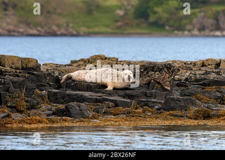 Grey seal (Halichoerus grypus) UK - Stock Photo