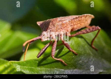 Stink bug on leaf - Stock Photo