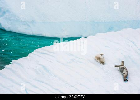 Antarctica, Southern Ocean, Antarctic Peninsula, Graham Land, Lemaire Channel, Petermann Island, pair of Crabeater Seals (Lobodon carcinophaga) on an iceberg - Stock Photo