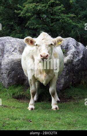 Charolais Cow portrait view/pose head on in a field with rocks in background - Stock Photo