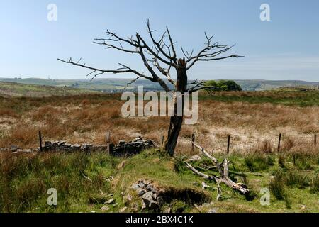 Lone tree at Belthorn. - Stock Photo