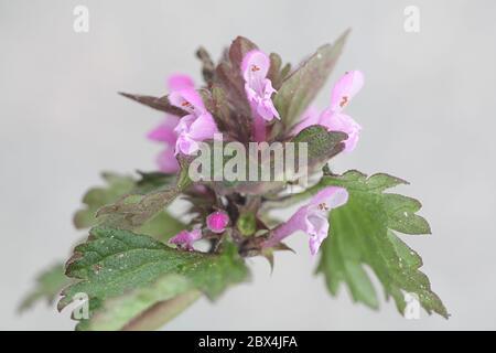 Lamium hybridum, known as Cut-leaved Dead-nettle, wild flower from Finland - Stock Photo