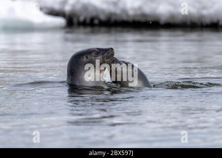 Two harbour seals, Phoca vitulina,  play and interact in the icy waters of Svalbard - Stock Photo