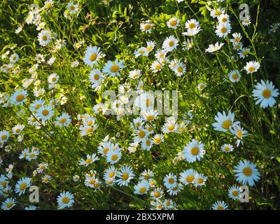 Mid evening sun backlighting a verge full of ox eye daisies at the end of  May. Leucanthemum vulgare.