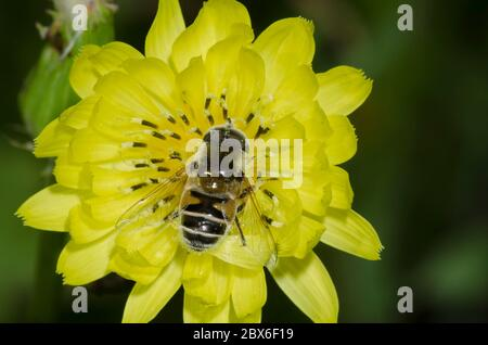 Syrphid Fly, Eristalis stipator, male foraging on False Dandelion, Pyrrhopappus sp.