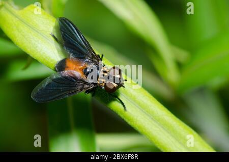 Feather-legged Fly, Trichopoda sp. - Stock Photo