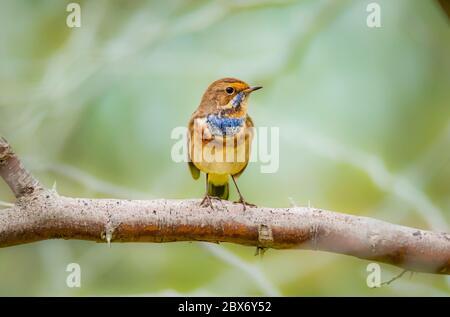 Beautiful shot of bluethroat bird a member of the thrush family Turdidae