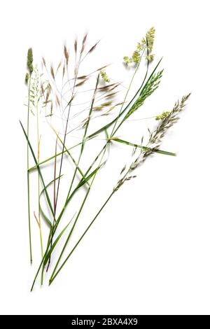 Arrangement with different wild grasses, like dactylis, brome and ryegrass isolated on a white background with copy space - Stock Photo