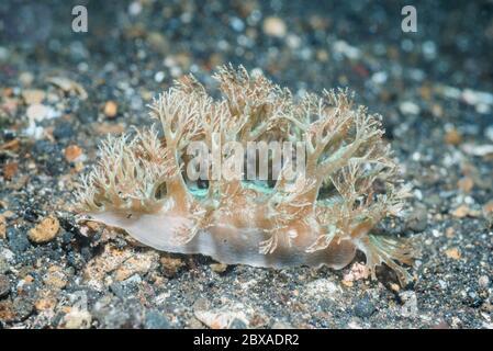 Nudibranch - Phyllodesmium pinnatum.  Lembeh Strait,  North Sulawesi, Indonesia. - Stock Photo
