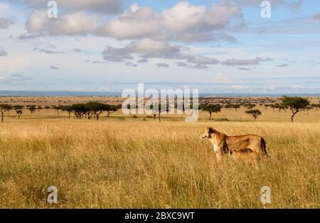a lioness with her cub roam through the high dry grass of the savannah, they stand attentively in the golden morning light in the endless expanse