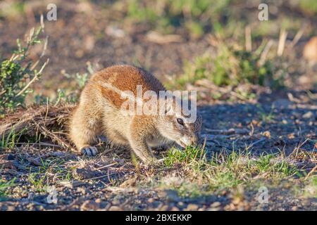 The Ground Squirrel (Xerus inauris) is found in most of the drier parts of Southern Africa from South Africa, through to Botswana, and into Namibia. - Stock Photo