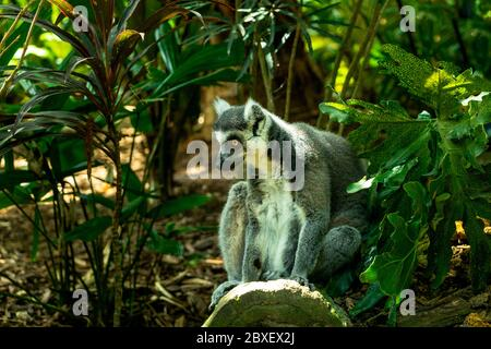 Lemur catta animal in zoo and park - Stock Photo