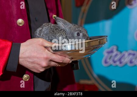 Lovely pet with fluffy hair. Three baby bunny rabbits in pastel silver metal pots . Easter holiday concept. Magic gray hare held in his hand . Baby - Stock Photo