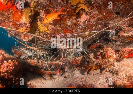 Underwater shot of lobsters hiding among coral reef - Stock Photo
