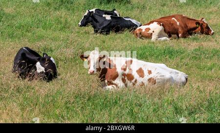 Holstein cows, dairly cattle relaxing in the green grass of their field, Munsterland, Germany