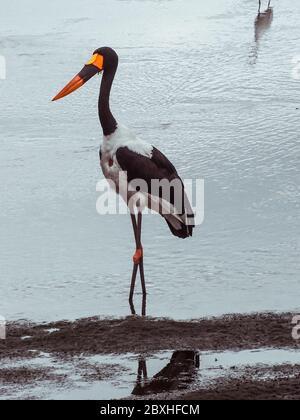 Vogel auf Safari im Krüger Nationalpark - Stock Photo
