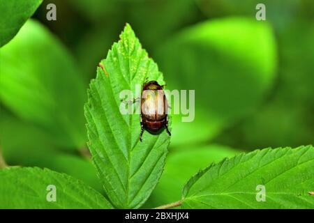 The June bug beetle. - Stock Photo