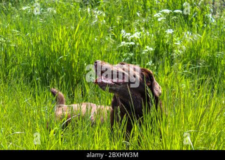 A beautiful young Chocolate brown purebred Labrador laying in the grass of a field in a countryside - Stock Photo