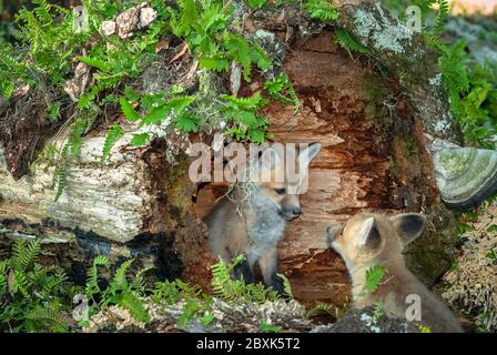 A baby red fox sits inside a hollowed out log and looks to have a conversation with its sibling. - Stock Photo