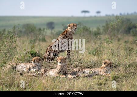 Mother cheetah sitting on a mound surrounded by her young cubs. Image taken in the Maasai Mara, Kenya. Stock Photo