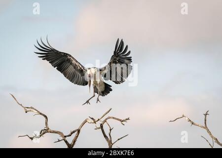 Marabou Stork coming in for a landing with its wings outstretched, on a tree branch, against a cloudy blue sky. Image taken in the Maasai Mara, Kenya. - Stock Photo