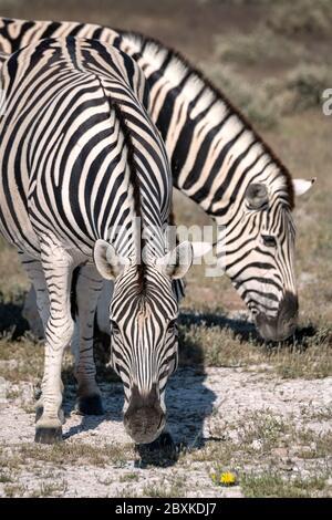 Close up of two zebra grazing on grass. Image taken in Etosha National Park, Namibia.