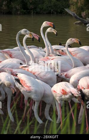 Flock of flamingos feeding in a lake. Some with their heads under water. Some with their heads above water. - Stock Photo