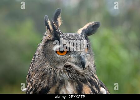Eurasian eagle-owl closeup portrait, surrounded by green trees
