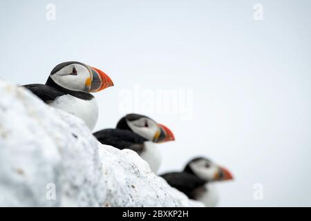 Three puffins sitting in a row on a wall, shallow depth of field so only the first puffin is in sharp focus - Stock Photo