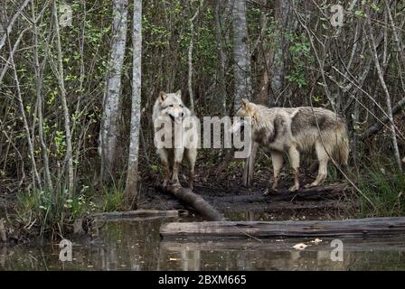 Pair of Timber Wolves (also known as Gray or Grey Wolves) standing in a clearing by a pond - Stock Photo