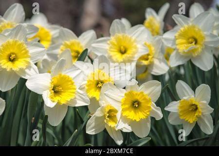 Yellow and white Daffodils (Narcissus Carlton) in a garden. - Stock Photo