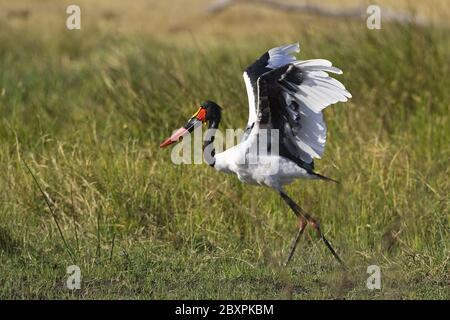 Saddle-billed Stork, (Ephippiorhynchus senegalensis), Africa - Stock Photo