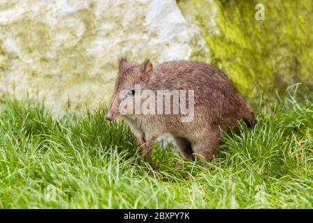 Long Nosed Potoroo (Potorous tridactylus) Standing in Grass - Stock Photo