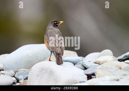American Robin (Turdus migratorius), Cherry Hill, Nova Scotia, Canada,