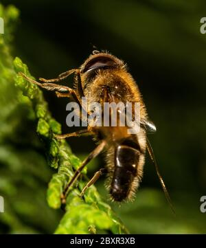 Drone fly (Eristalis tenax) on a flower, UK - Stock Photo