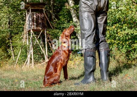 Hunting dog training. The 6-month-old Irish Setter looks attentively to his trainer. - Stock Photo
