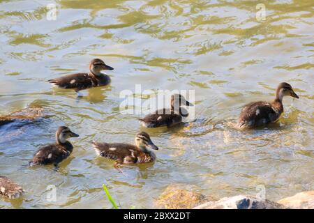 many ducks in the water - Stock Photo