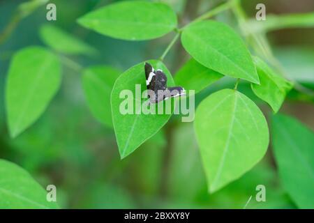 White Striped Black Moth in Springtime Stock Photo